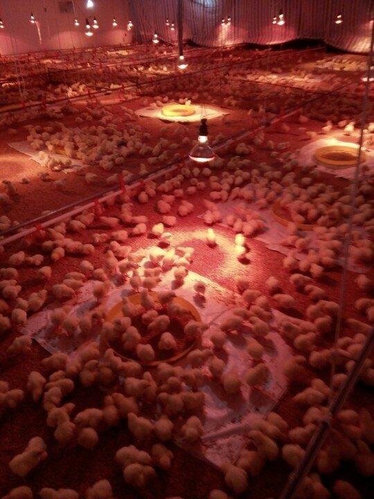 Bí quyết nuôi gà giống thành công