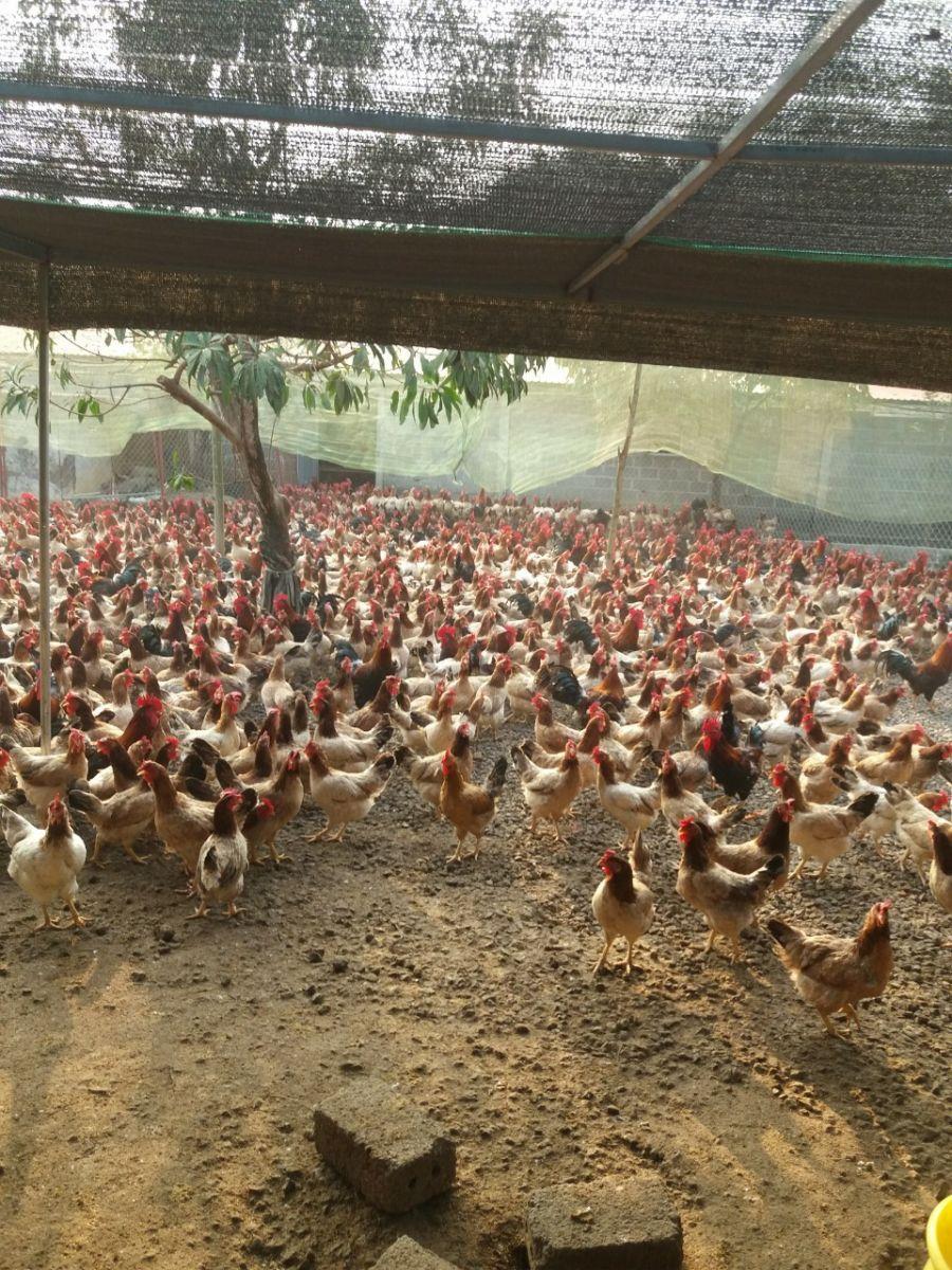 Kỹ thuật nuôi dưỡng gà Lạc Thủy đẻ