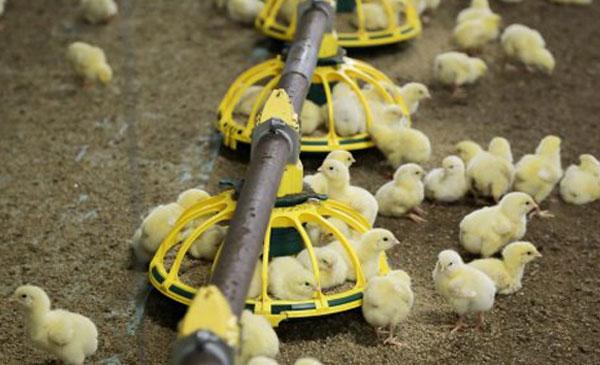 CPTPP  - Những cơ hội và thách thức cho ngành chăn nuôi gà thả vườn việt nam năm 2019