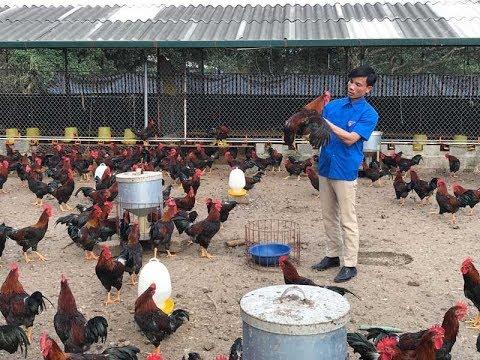 Mô hình sản xuất gà giống