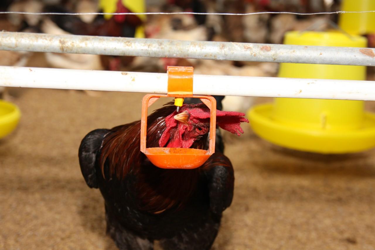 Những kỹ thuật chọn giống gà Lạc Thủy