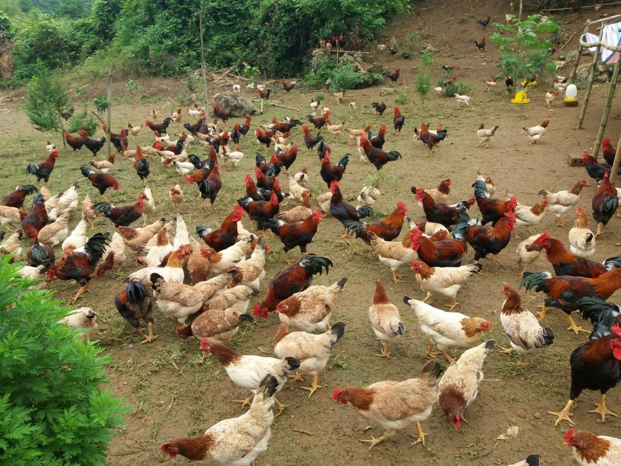 """Chăn nuôi gà miền Bắc: """"Chọn giống gửi vàng"""""""